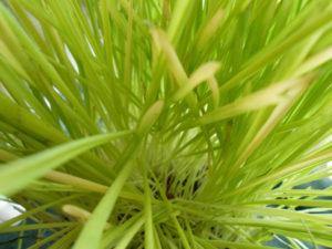 猫草の写真
