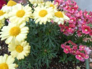 黄色マーガレット(菊)とピンク色ベゴニアの写真