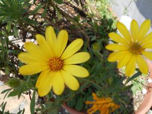 花の写真黄色のアフリカンデージー(オステオスペルマム)