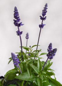 花の写真ラベンダー