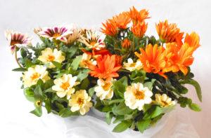 花の写真オレンジ色と模様のガザニアと白色ジニア寄せ植え