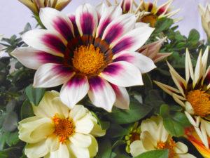 花の写真模様のガザニアと白色ジニア