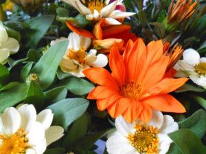 花の写真オレンジ色のガザニアと白色ジニア