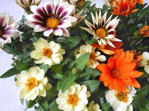 花の写真オレンジ色&模様のガザニアと白色ジニア