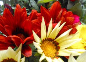 花の写真オレンジ色と赤色のガザニア(勲章菊)
