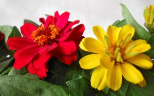 花の写真黄色と赤色の百日草