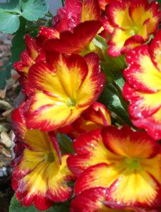 花の写真プリムローズ(プリムラ)