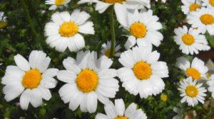 花の写真白いヒナギク