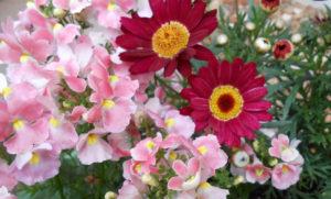 赤いデイジーとピンク色のベゴニアの写真