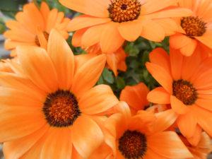 オレンジ色のガザニアの花の写真
