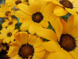 黄色いガザニアの花の写真