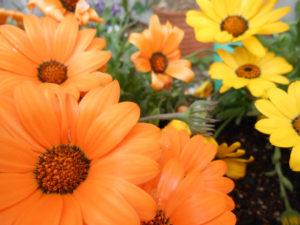 ガザニア(黄色とオレンジ)の花の写真