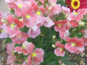 花の写真花桃色ベゴニア