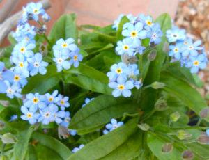 花の写真水色の勿忘草(わすれな草)