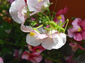 バッタ・キリギリスの写真(ヤブキリ)