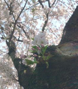 桜(ソメイヨシノ・染井吉野)の写真