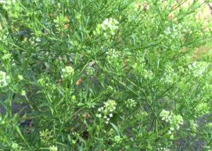 ペンペン草/マメグンバイナズナの写真
