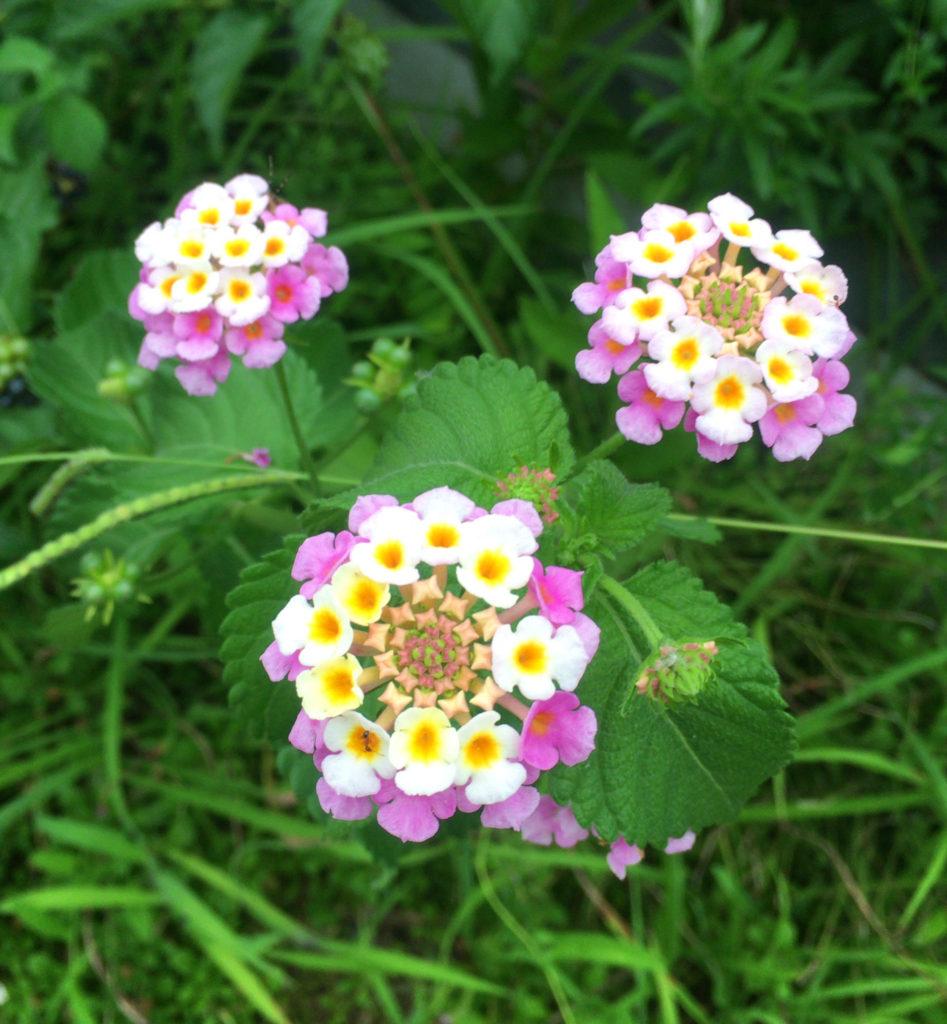 道路沿いに自生するランタナ【和名シチヘンゲ(七変化)】(花)の写真 無料素材 CC0 「素材ある」