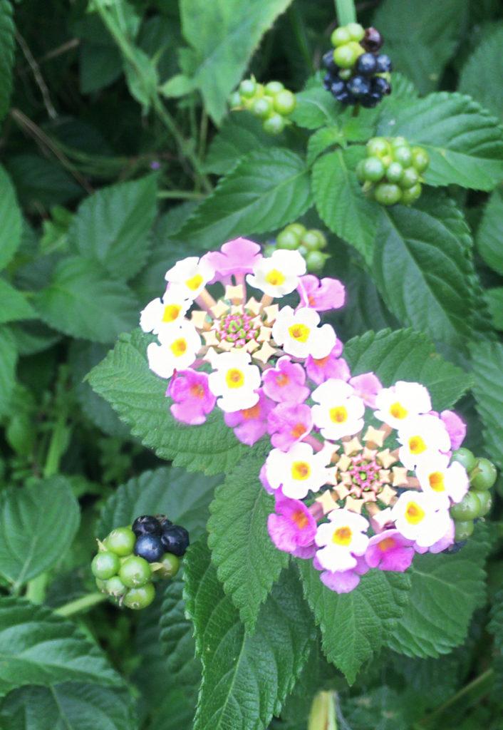 道路沿いに自生するランタナ【和名シチヘンゲ(七変化)】(花と実)の写真 無料素材 CC0 「素材ある」