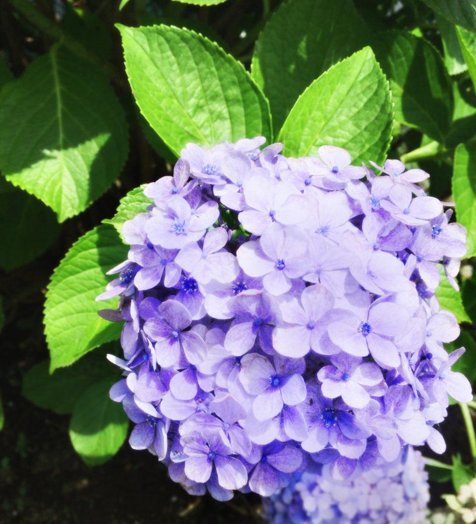 青紫色の紫陽花(あじさい) 無料素材 CC0 「素材ある」